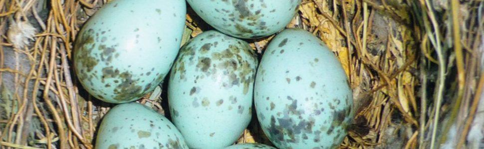 Magyarország fészkelő madarainak költésbiológiája